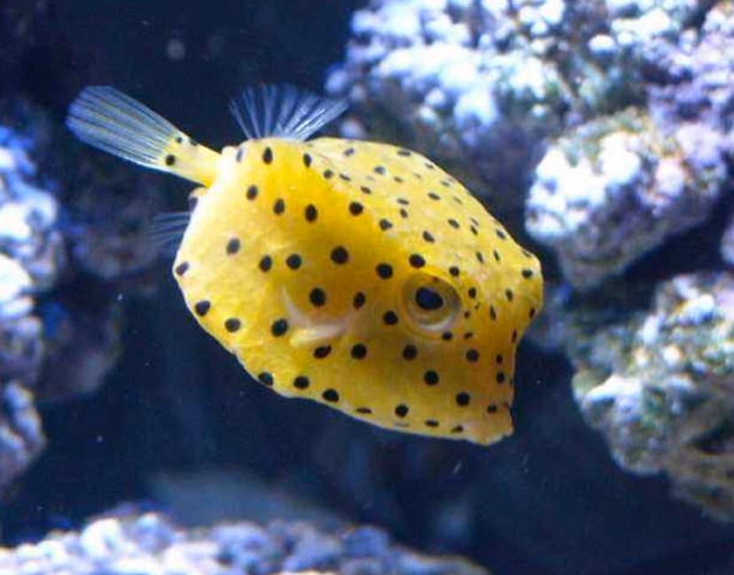 说说箱鲀科鱼类的病 北京观赏鱼 北京龙鱼第7张
