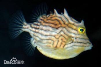 说说箱鲀科鱼类的病 北京观赏鱼 北京龙鱼第16张