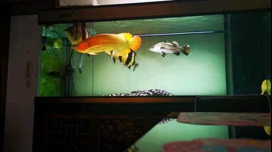 北京白子金龙鱼日常喂食3月17日