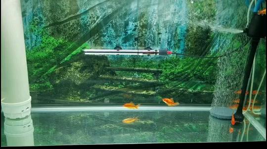 饿疯了的雀鳝 北京观赏鱼 北京龙鱼第1张