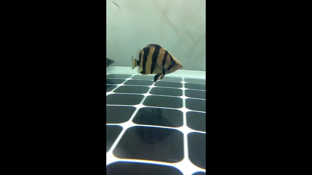 我的短身小球泰 北京观赏鱼 北京龙鱼第1张