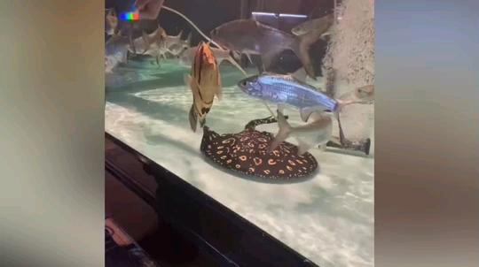 地缸养虎 北京观赏鱼