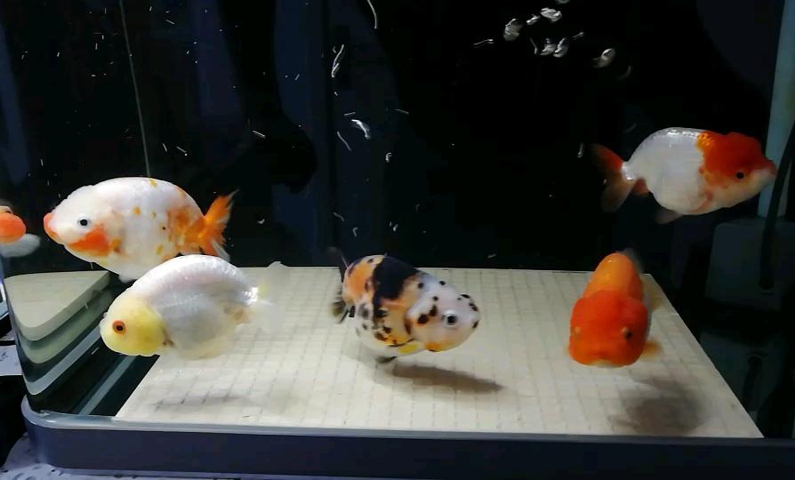 北京白子魟鱼繁殖第四周打卡记录 北京观赏鱼 北京龙鱼第1张