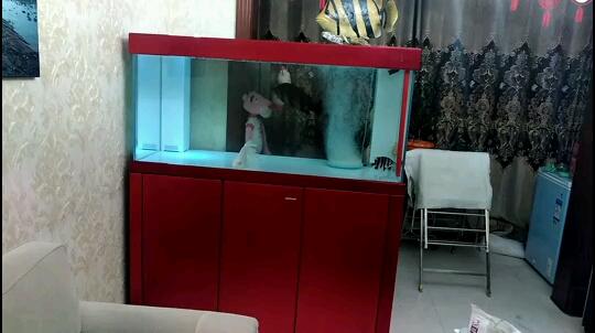 开缸第二天 北京观赏鱼 北京龙鱼第1张