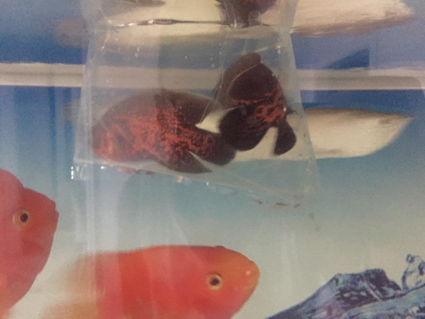 关于减密度龙鱼圈